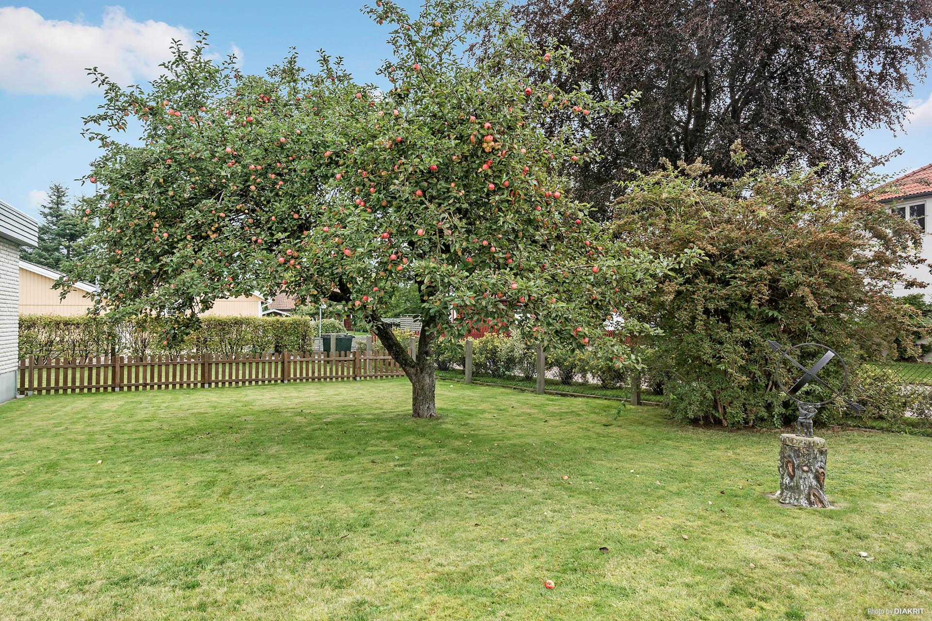 Uppvuxen och fin trädgård med bland annat fruktträd.
