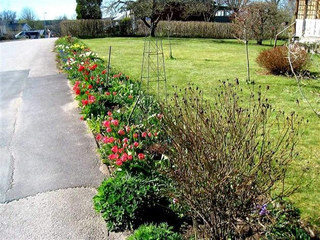 Tätbeväxt rabatt med tulpaner på vårkanten.