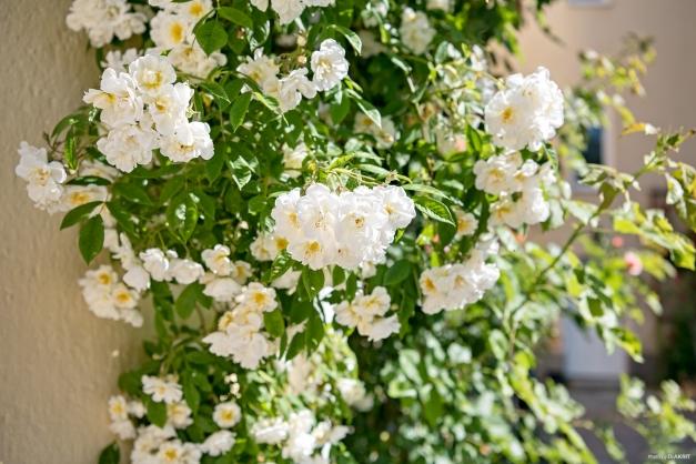 En av många blommande växter under sommarmånaderna.
