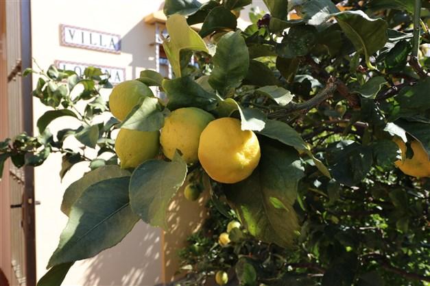 På framsidan växter både citronträd...