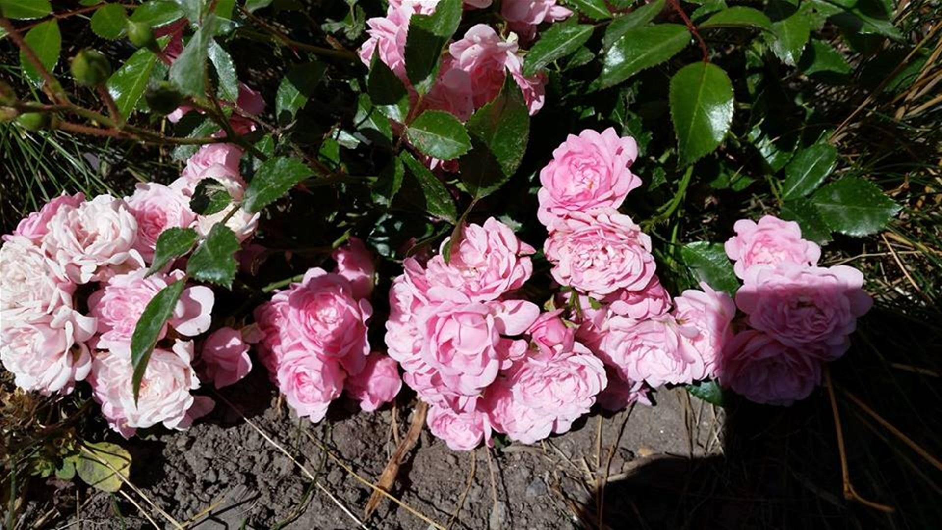 Rosa rosor i rabatten mot gatan.