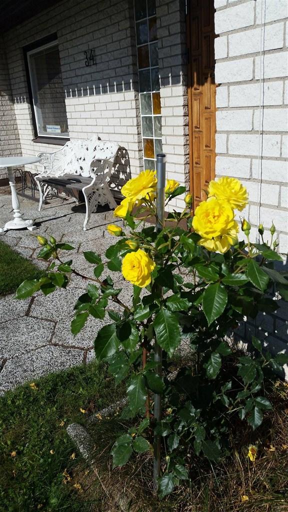 Trädgårdsmöbel framsidan mot gatan med stora gula rosor.
