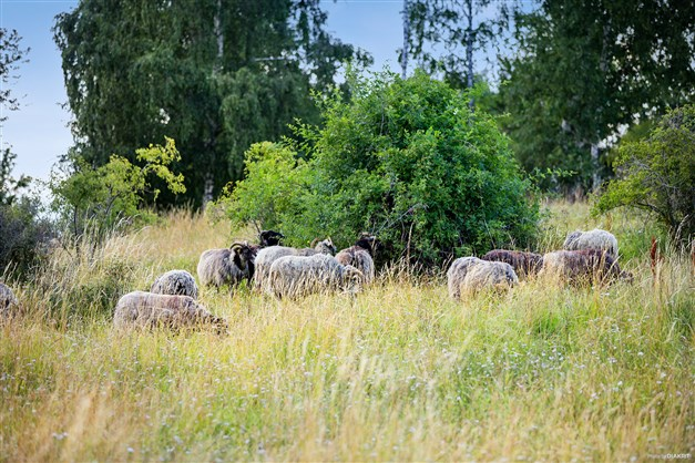 Här finns både kor och får