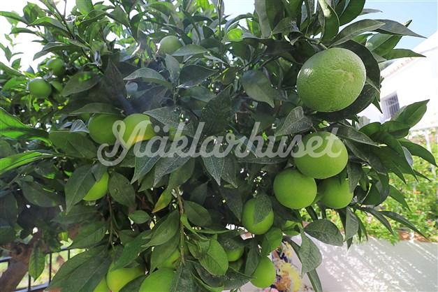 Eget apelsiträd i trädgården som ger riklig skörd