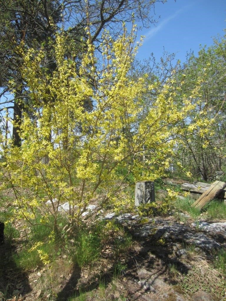 Ginst å våren
