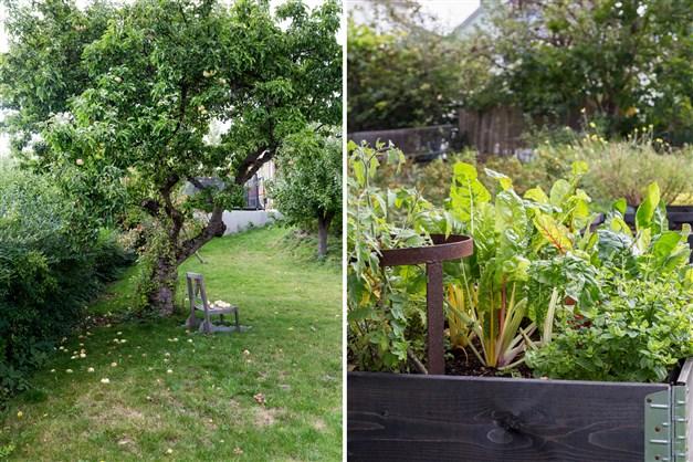 Gemensam trädgård med äppelträd och odlingslådor