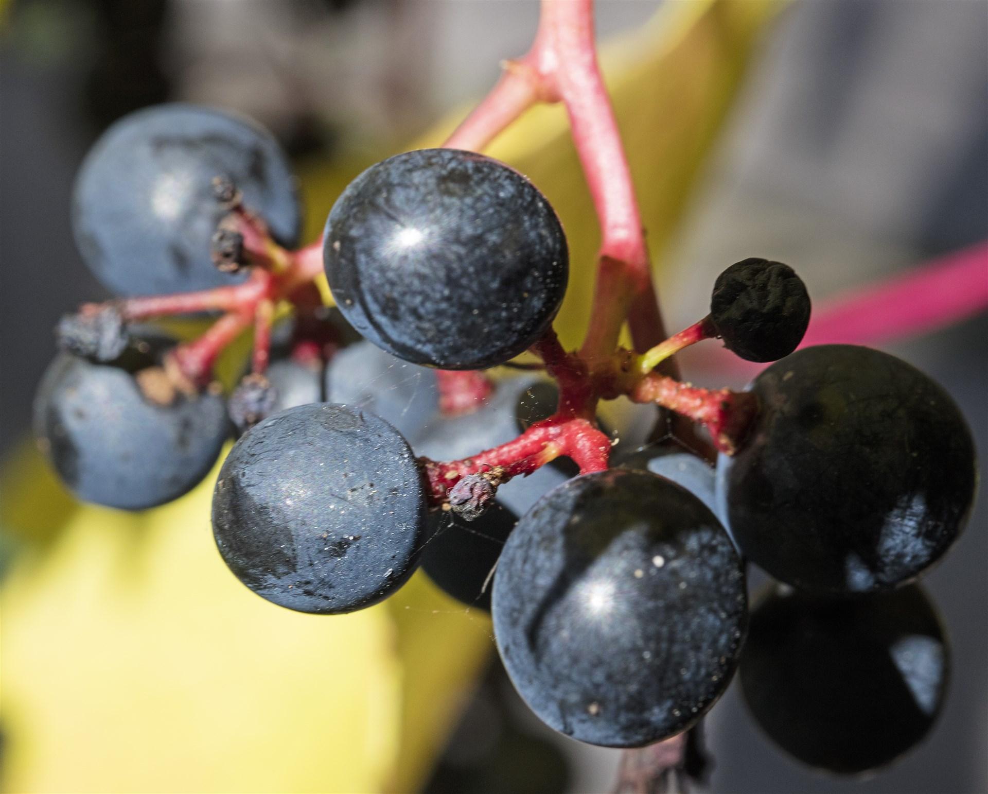 Vindruvor i trädgården
