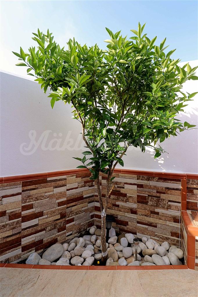 Fruktträd. I trädgården växer avokado, citroner och mandariner.
