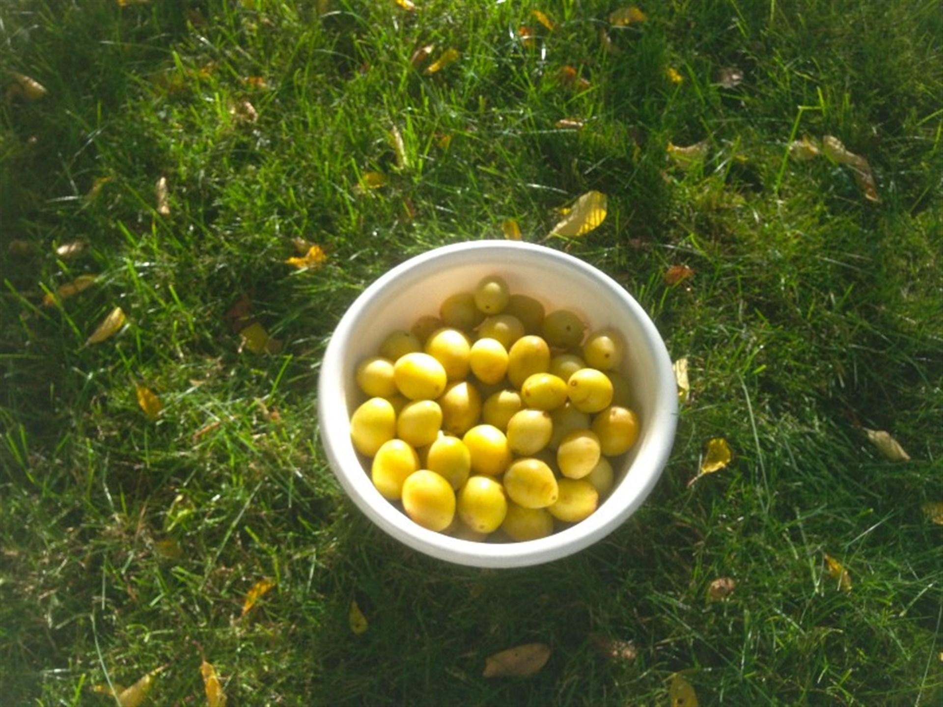 Säljares bild på vad trädgården producerar med söta och goda plommon