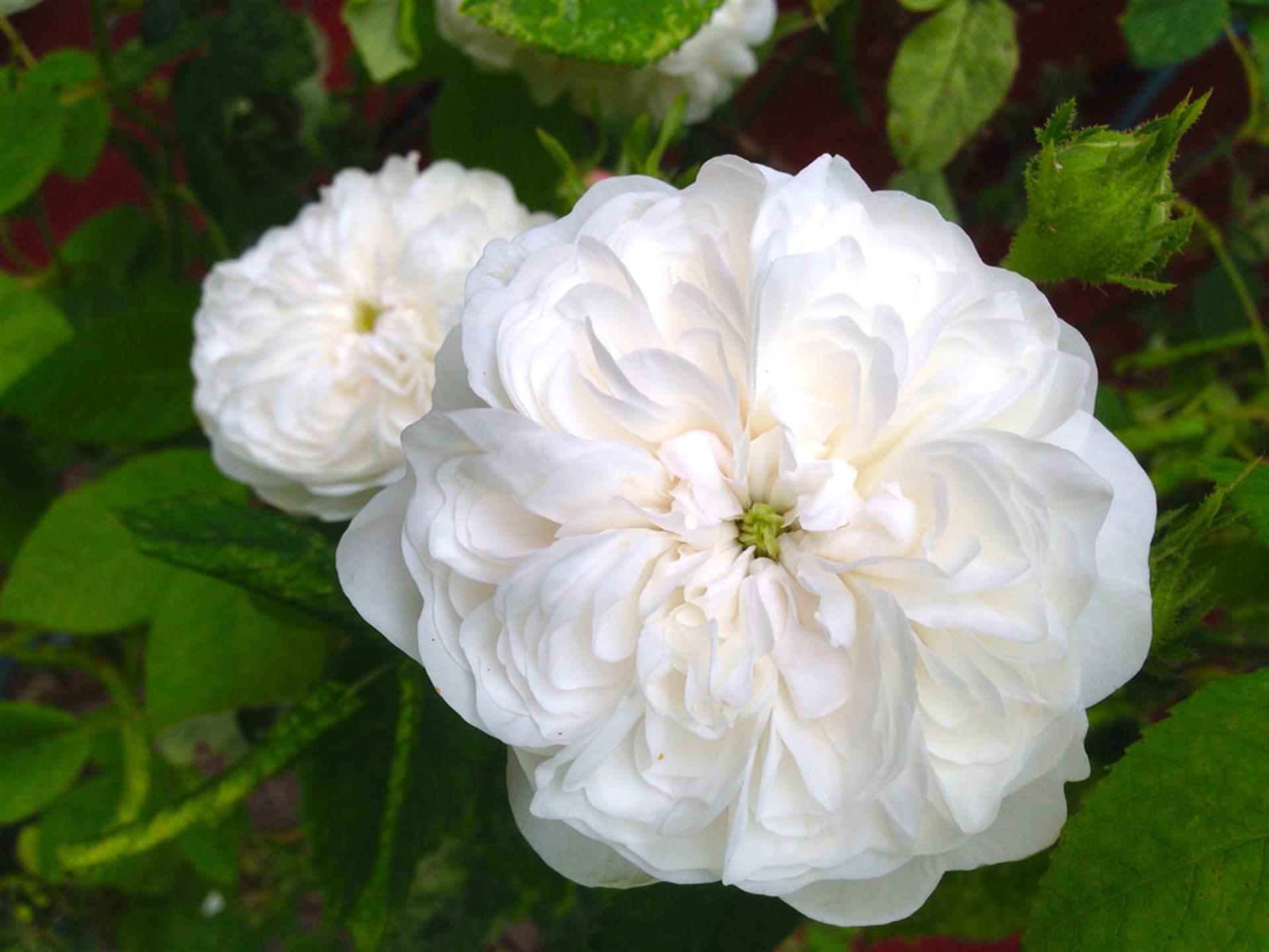 Den otroligt vackra gammaldags rosen som dessutom doftar gudomligt (säljarens sommarbild)