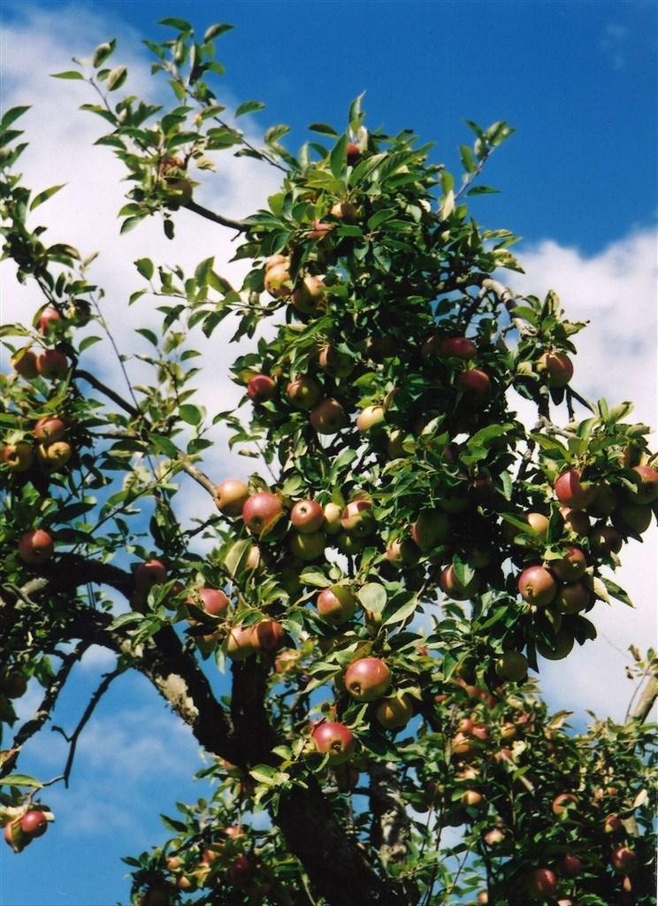 Dignande äppelträd.