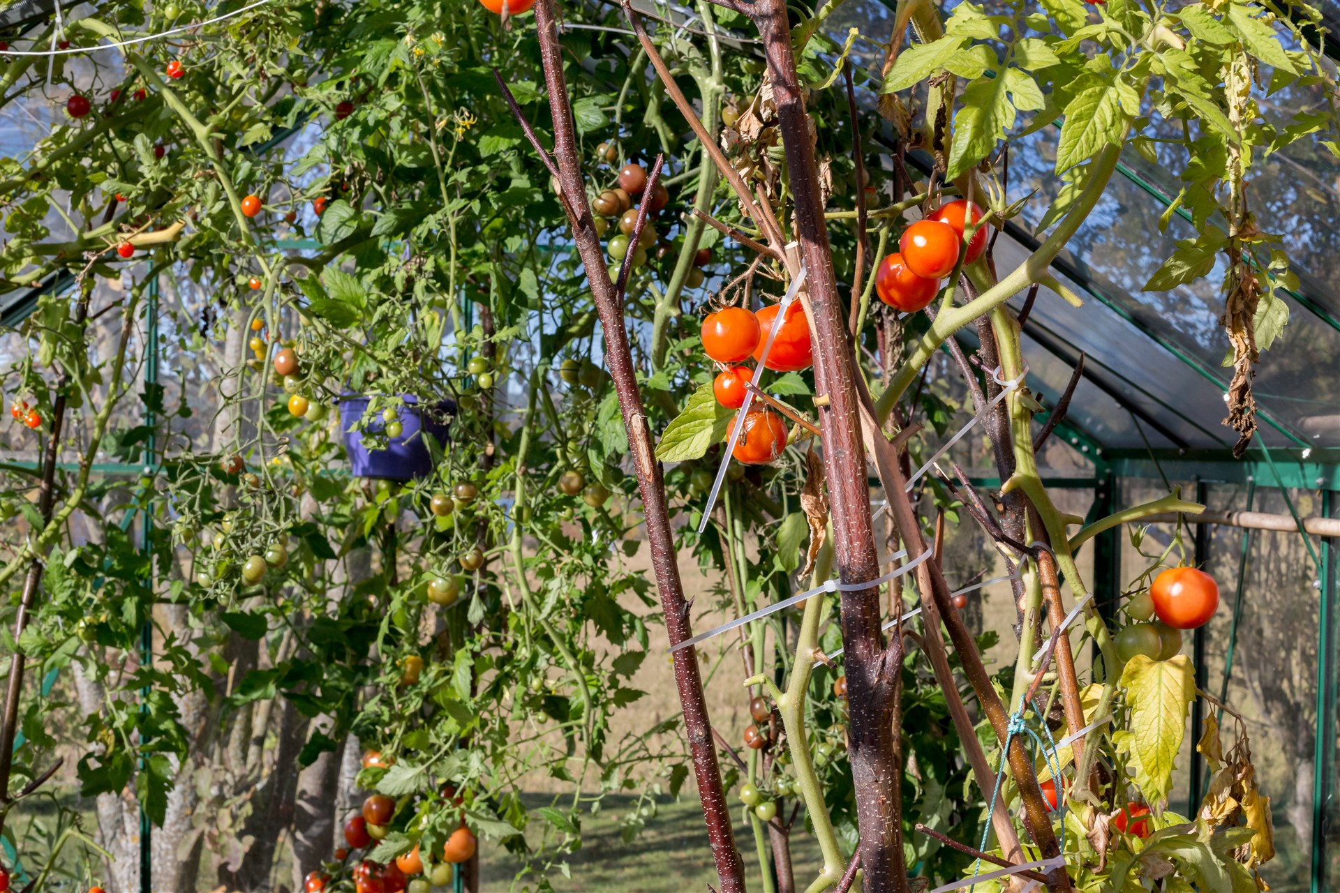 Egna tomater i växthuset