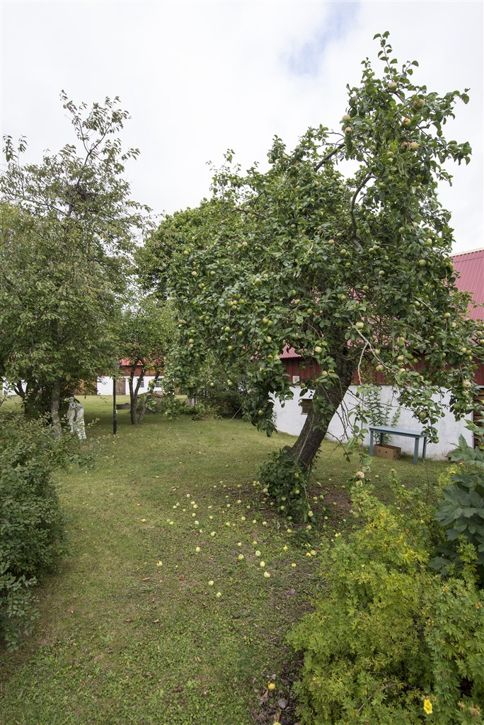 Uppvuxen trädgård med fruktträd