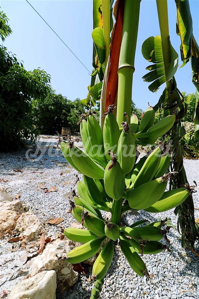 Egna bananer som kallas för platanó växer i trädgården.
