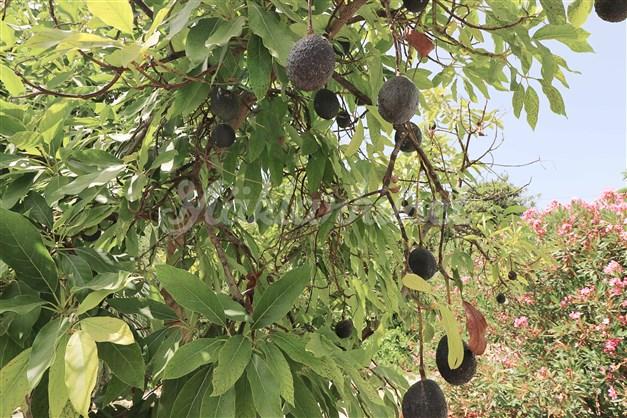 Här njuter du av egenodlade avacados! I trädgården finns många tropiska fruktträd.