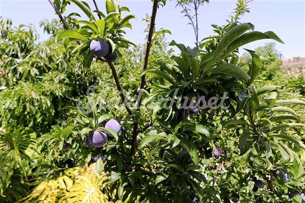 Plommonträd finns också, samt granatäpplen.