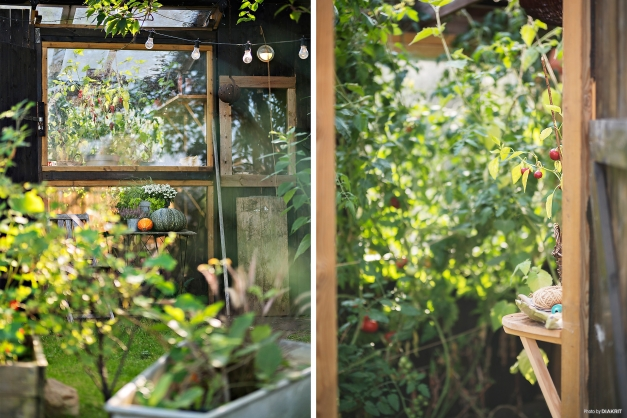 Växthus med tomatodling