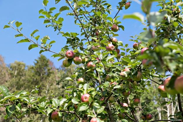I trädgården finns ett fantastiskt äppleträd!