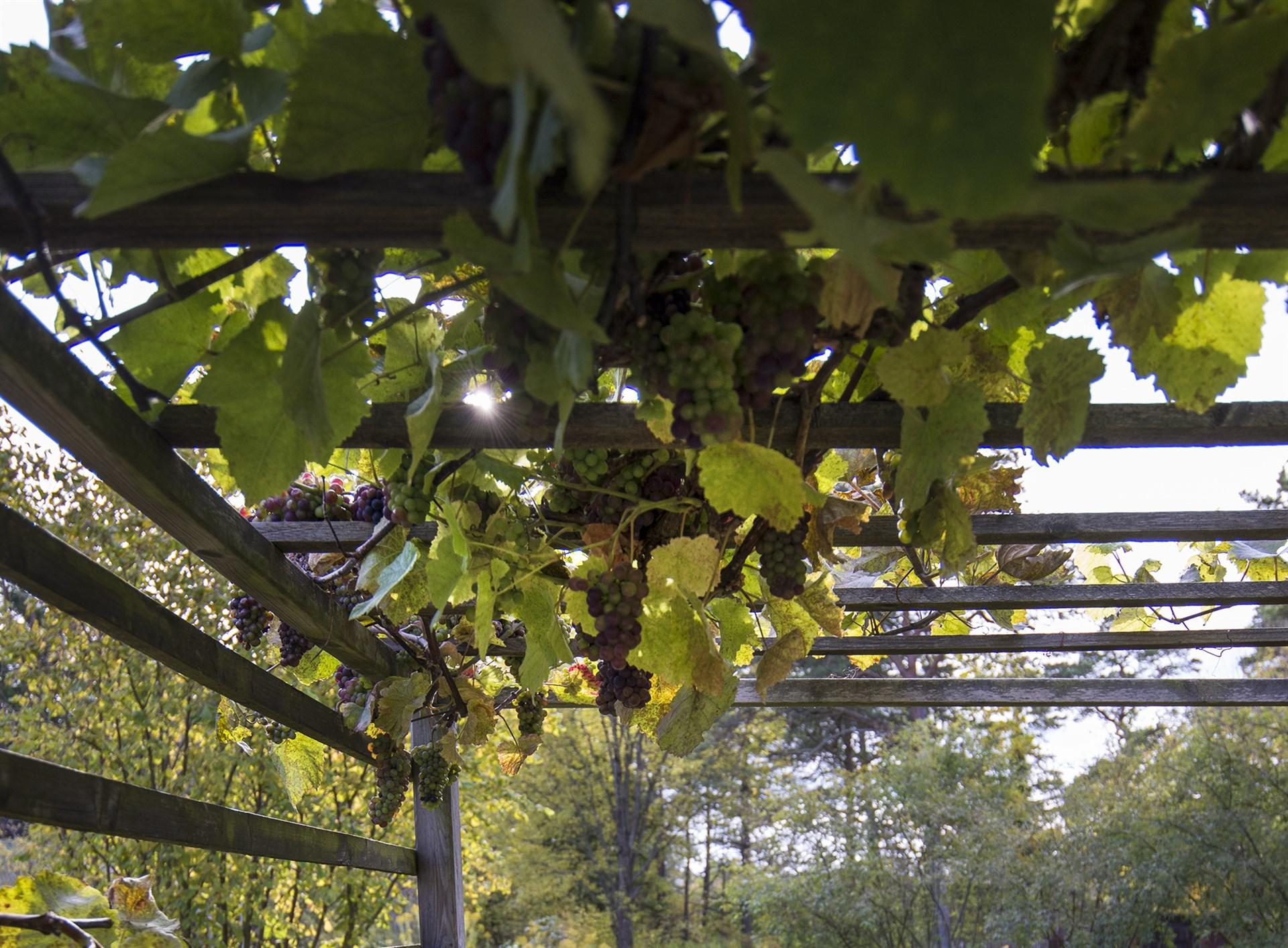 Pergola med vinrankor