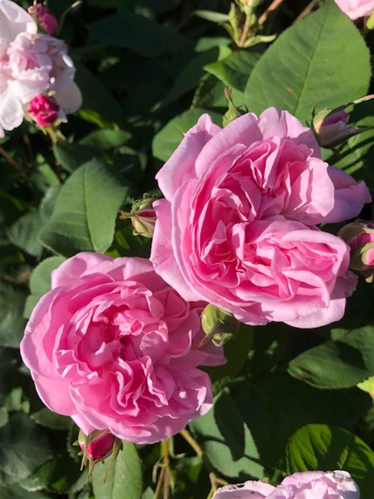 Louise Odier, en av många doftande gammaldags rosor